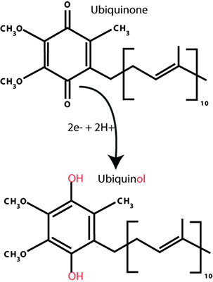 The Difference Between Ubiquinone and Ubiquinol