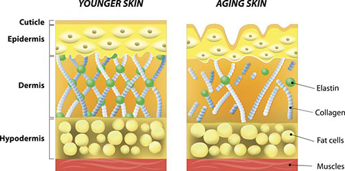 Collagen Appearance in Younger Skin vs. Aging Skin