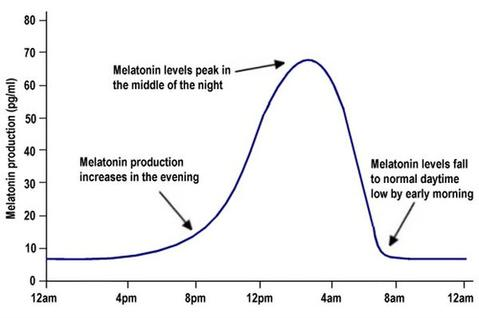 Melatonin Production Timeline