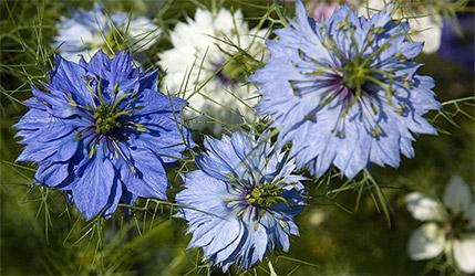 Nigella Sativa Flowers